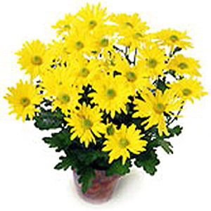 Basking Ridge Florist | Yellow Mum