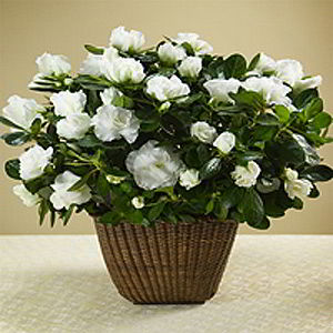 Basking Ridge Florist | White Azalea