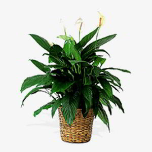 Basking Ridge Florist | Peace Lily