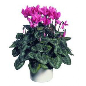 Basking Ridge Florist | Cyclamen